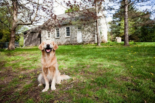 800993_smiley-blind-therapy-dog-golden-retriever-stacey-morrison-6-1