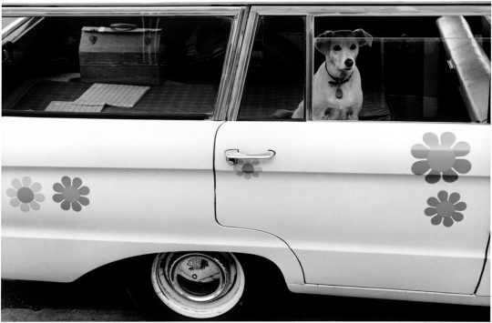 USA.  Dog looking out the window of a car.